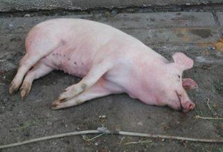 Свинья чума