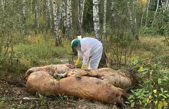 Свинья с чумой