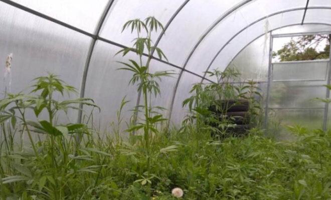 марихуана Калуга