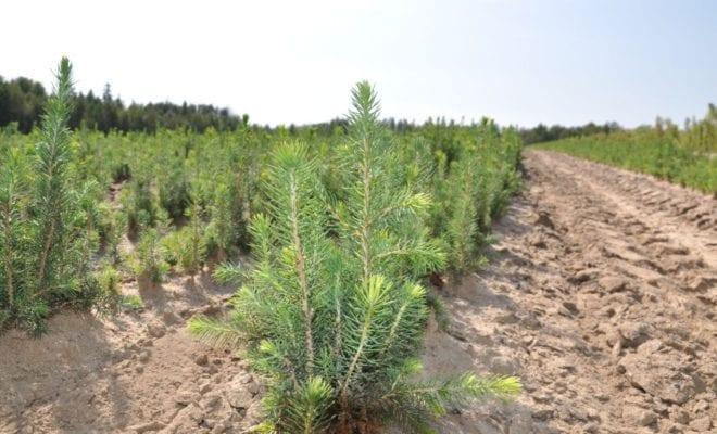 создание лесных культур на реконструкции накачать