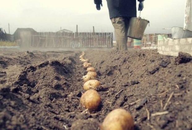 Сажаем картофель