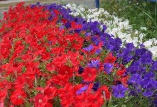 Цветы Российский флаг